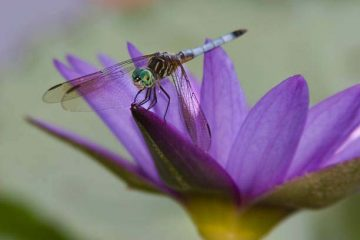 A dragon fly resting on a waterlily with purple pedals.